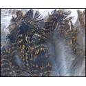 plumes de grouse